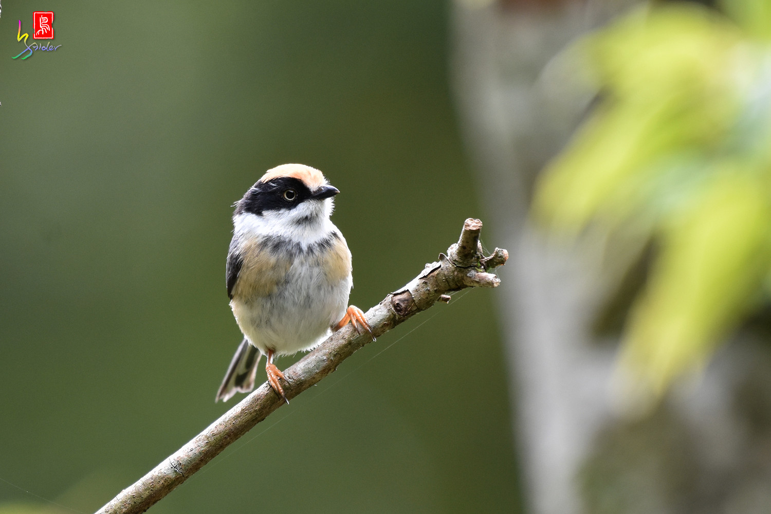 Black-throated_Tit_8875
