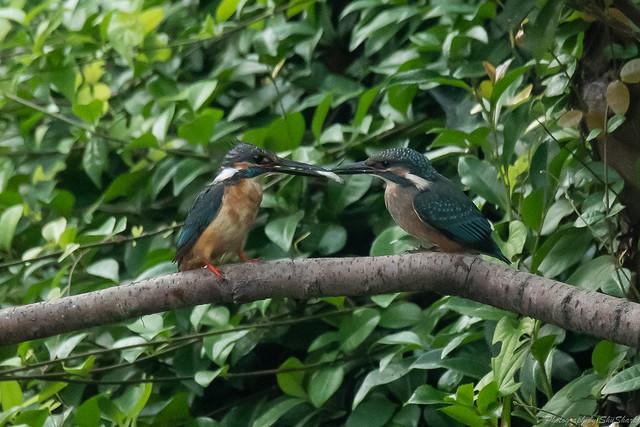 20180716-kingfisher-DSC_6900