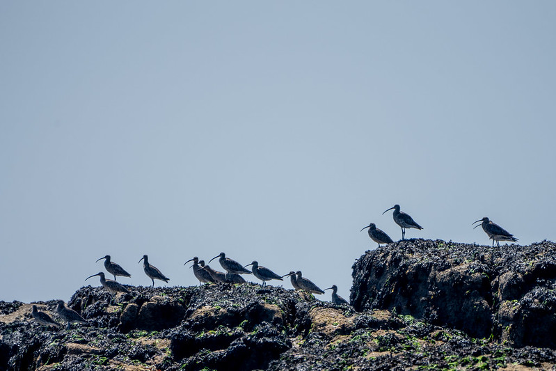 Curlews on Maiden Bower