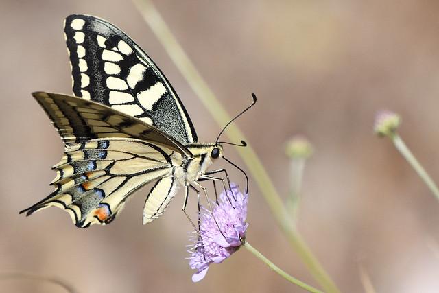 Common Swallowtail Papilio machaon Samos Greece 2