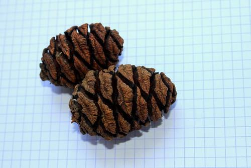 Sequoiadendron giganteum - séquoia géant 28301769677_0a4bdb46f1