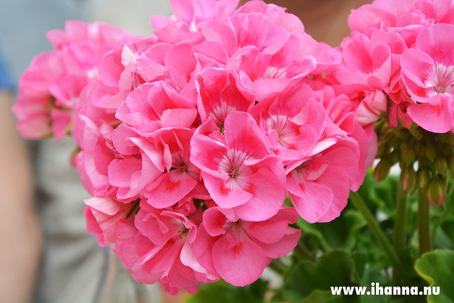 Rosa pelargon / Pink Geranium - Photo by Studio iHanna / Hanna Andersson, Sweden (copyright)