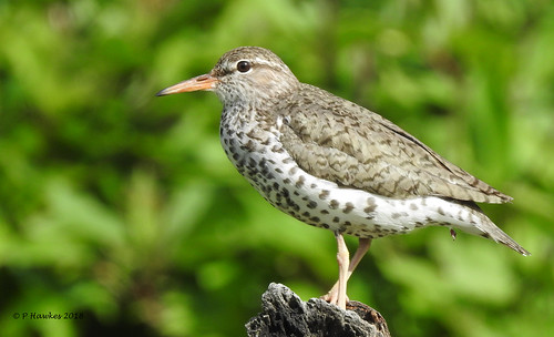 bird shorebird spottedsandpiper bankside calgary pamhawkes