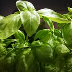 lettuce leaf basil planting in indoor plants by shiny