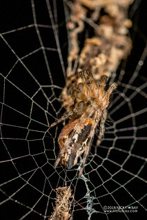 Trashline orb weaver (Cyclosa sp.) - DSC_5540