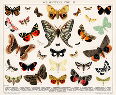 Antique Butterfly and Moth Lithograph Original Antique Insect Print by an unknown artist (1894), a collage of beautifully colourful butterflies and moths. Digitally enhanced from our own original plate.