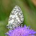 mertlrob posted a photo:	western marbled white [Melanargia occitanica]