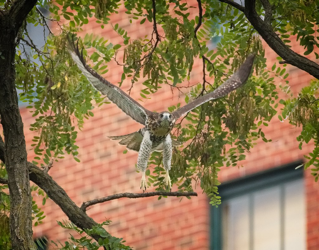 Tompkins red-tail fledgling A1