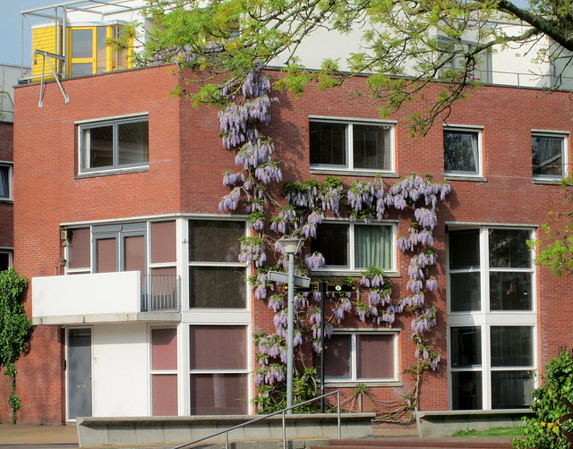 Wisteria Drapery, Groningen, The Netherlands,