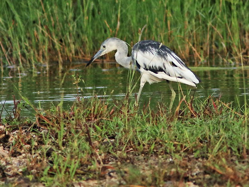 Little Blue Heron immature piebald 07-20180617