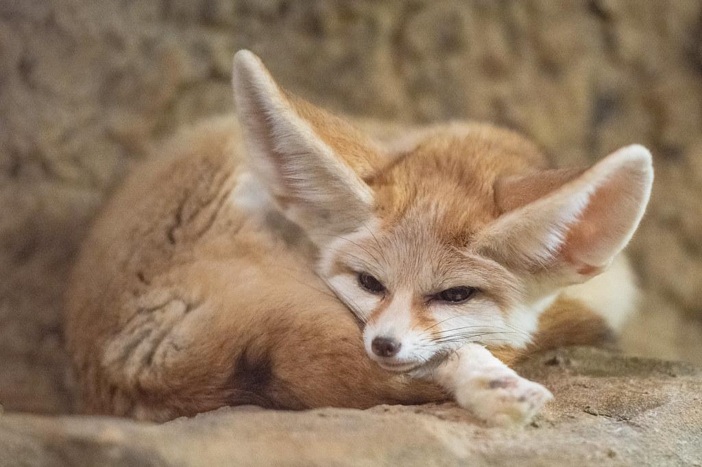 Fennec Fox_6
