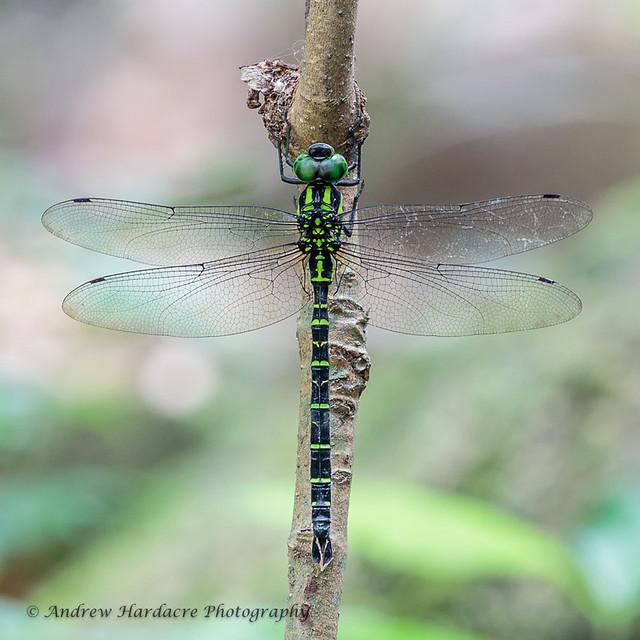 Polycanthagyna erythromelas _ Tiger Hawker male