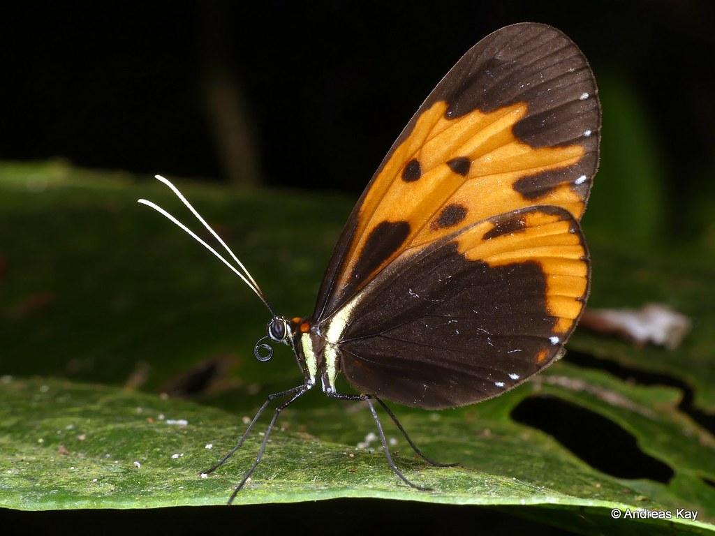 Melinaea marsaeus, Nymphalidae