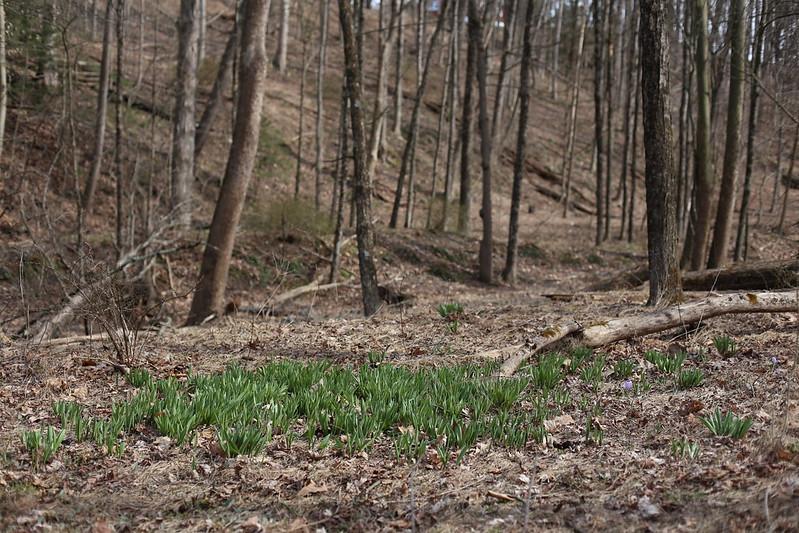 wild crocuses in April