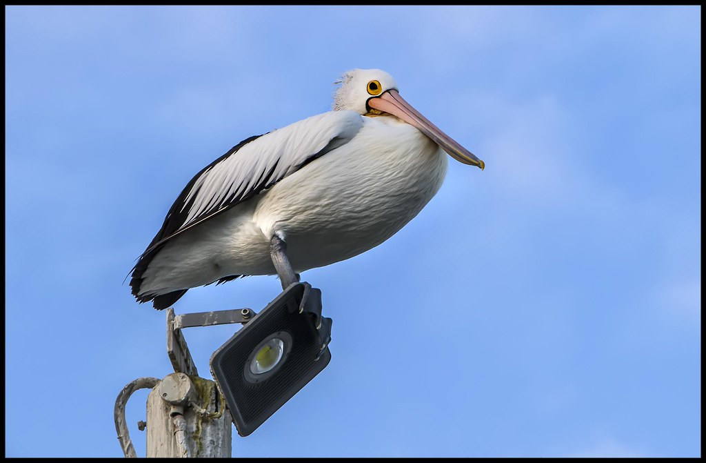 Scarborough Pelican way up high-1=