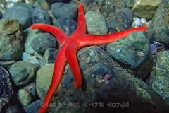 Blood Star at Point of Arches in Olympic National Park