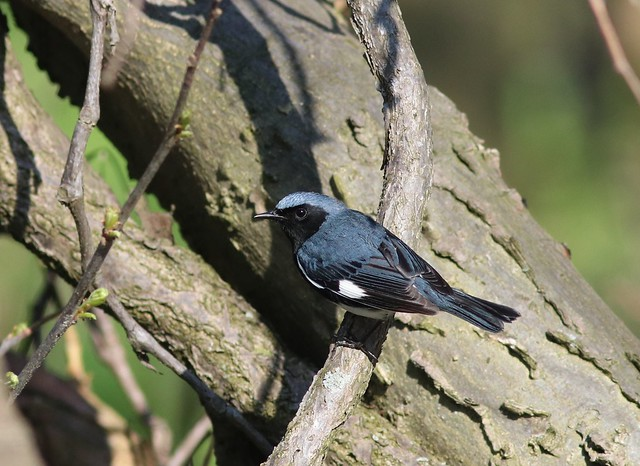 Black-throated Blue Warbler, Canon EOS 80D, Canon EF 300mm f/4L IS