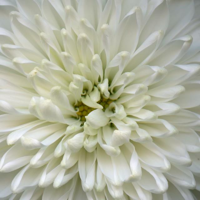 59016.04 Chrysanthemum