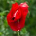 Red Poppy 1