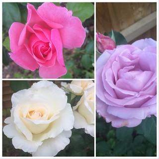365-165 Roses