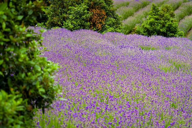 Lavendelfeld Mainz