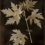 Acer Palmatum (lumen print)