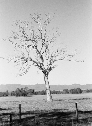Dead tree near Dedman, Upper Hunter Valley, NSW
