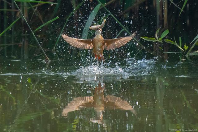 20180629-kingfisher-DSC_4794