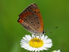 Photo:Common copper butterfly (Lycaena phlaeas, ベニシジミ) By Greg Peterson in Japan