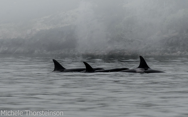 Orcas(and me and my rig) In That PNW Heavy Mist.