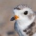 Piping Plover | 2018 - 36