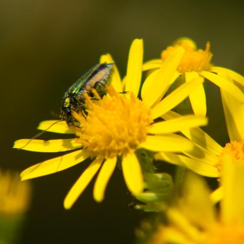 Green beetle on ragwort flower