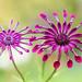 Whirlygig Osteospermum by Mandy Disher