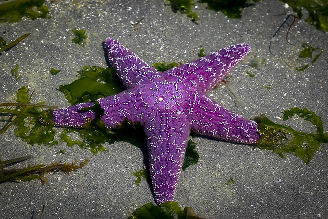 Big Purple Starfish!