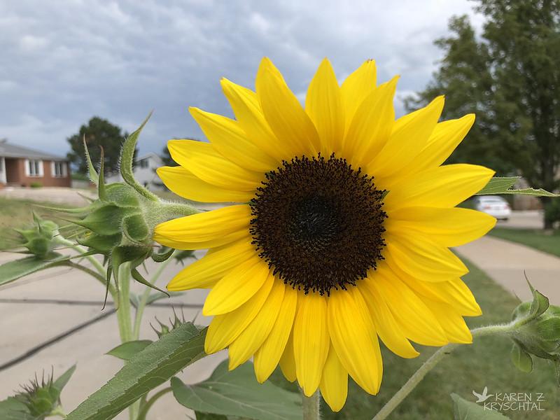 IMG_2044OrangeHobbitSunflower