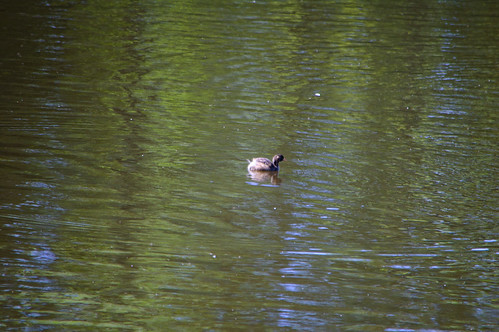 Young dabchick, Bags Pool