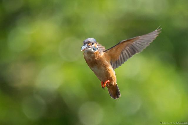 20180630-kingfisher-DSC_5407