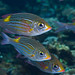 Striped Large Eye Bream (Gnathodentex aureolineatus) by Black Fin Grouper