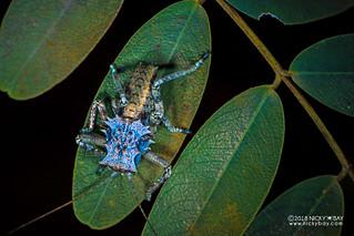 Armored katydid nymph (Enyaliopsis petersi) - DSC_5202