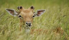Fallow Buck in Grass