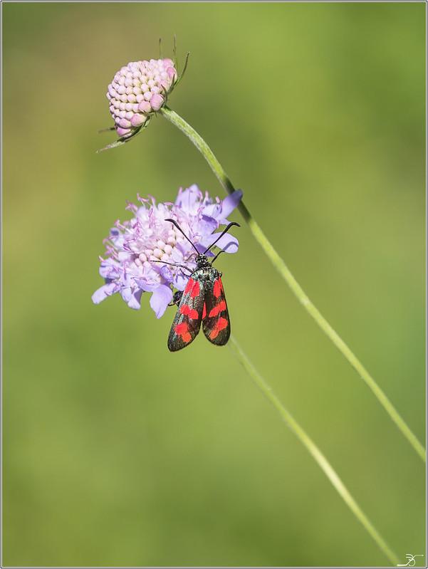 Jardin botanique Saverne: Zygene 29218406608_326879050a_c