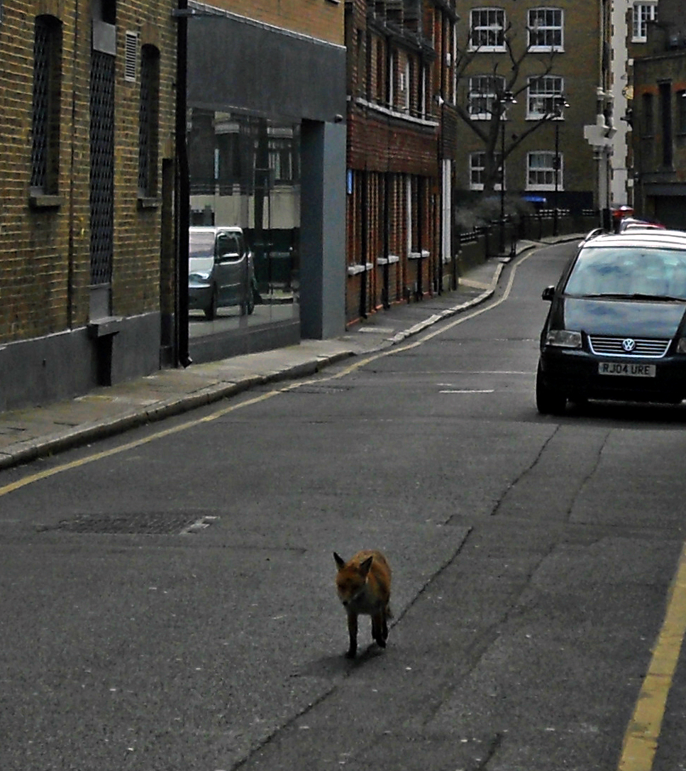 Red fox brazenly scampering down Ayres Street, Southwark, in central London. Photo taken on March 5, 2012.