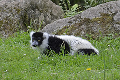 2018.06.19.007 CHAMPREPUS - Zoo - Maki vari blanc et noir (lémurien) - Photo of Champcervon