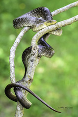 Eskulapio sugea / Culebra de esculapio / Zamenis longissimus