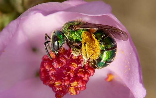 Metallic Green Bee (Augochlorella pomoniella)