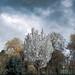 White Blossom & Rain Clouds (Cold Light Portrait)