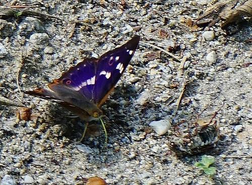 Männlicher Großer Schillerfalter - Male purple emperor - Apatura iris