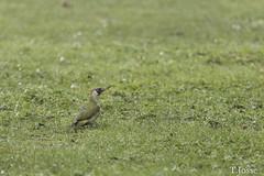20180302_creteil_Grand Cormoran, Pic vert
