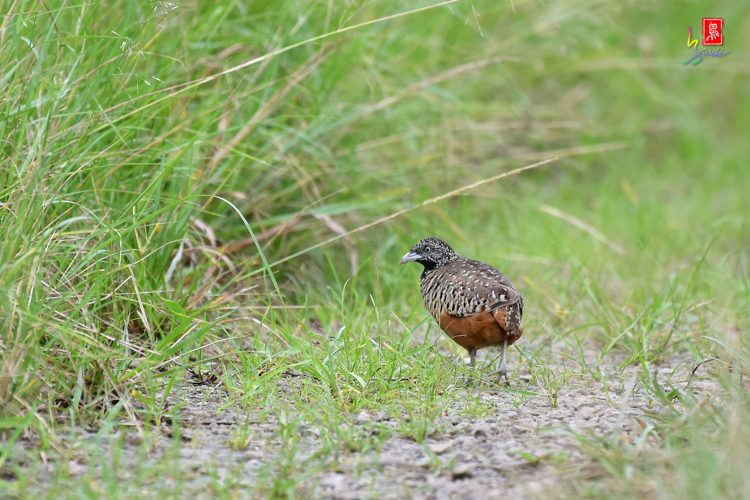 Barred_Buttonquail_4302