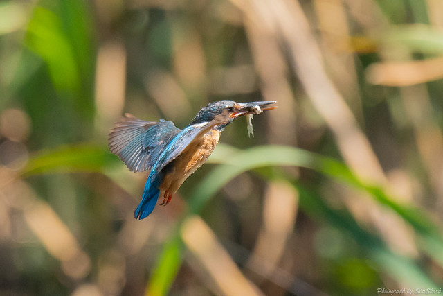 20180629-kingfisher-DSC_5082